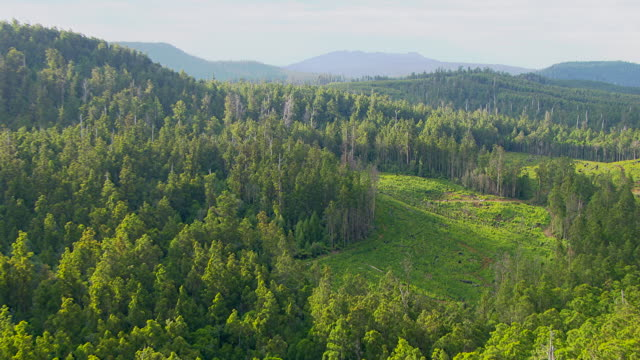 MS AERIAL ZI PAN View of man hanging with rope on tall tree in wooded area / Tasmania, Australia