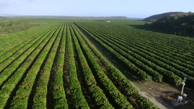 vidéos et rushes de ws tu aerial pov view of mango field with landscape / guayanilla, puerto rico, united states - antilles occidentales