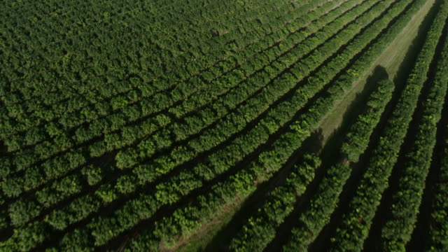 WS AERIAL POV View of mango field with landscape / Guayanilla, Puerto Rico, United States