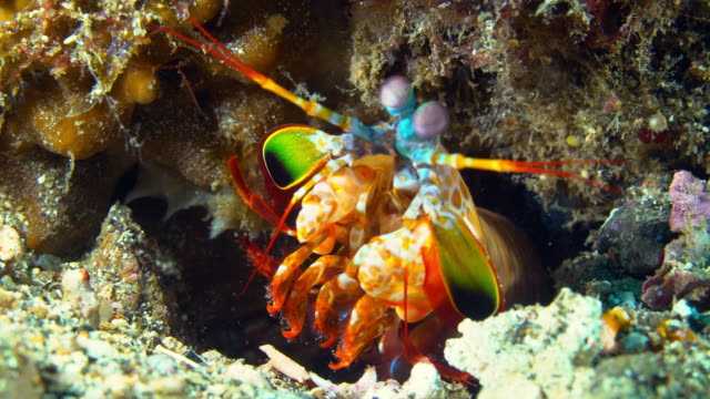 View of Mantis shrimp rolling its eyes under the sea in Raja Ampat Islands, Indonesia