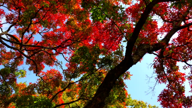 vídeos y material grabado en eventos de stock de view of maple trees in gangwon-do province in autumn - arce