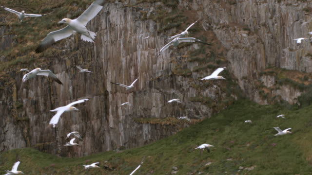 ws slo mo view  of mass of seabirds northern gannets morus bassanus flying against bird cliffs of ailsa craig island in scotland / ailsa craig island near girvan, ayrshire, scotland - scotland stock videos & royalty-free footage