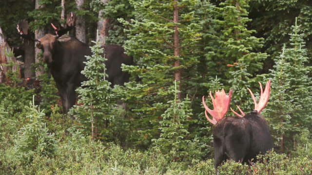 vídeos de stock, filmes e b-roll de ws view of massive bull moose, one with bloody antlers and one just shedding his velvet, sizing each other up as rut approaches / ward, colorado, united states - pastar