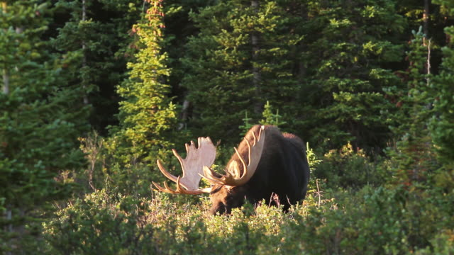 WS View of massive bull moose spotlighted at forest edge at sunrise / Ward, Colorado, United States