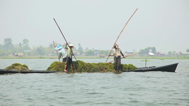 ws view of men on boat poaking in water and retrieving algae they put on their boat in inle lake / inle lake, shan state, myanmar   - shan state stock videos & royalty-free footage