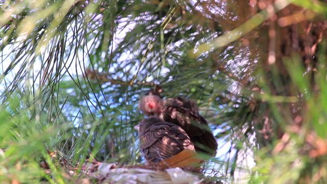 stockvideo's en b-roll-footage met view of microscelis amaurotis on the tree branch - young bird