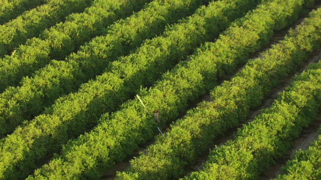ws aerial zo ds view of migrant worker picking oranges from trees pull out to reveal w s orchard in collier county / florida, united states - migrant worker stock videos and b-roll footage
