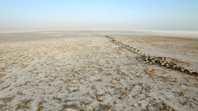 view of migrating camel herd at danakil desert, ethiopia - camel train stock videos & royalty-free footage