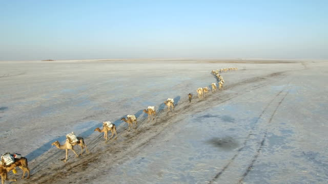 View of migrating Camel Herd at Danakil Desert