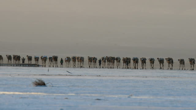 View of migrating Camel Herd at Danakil Desert