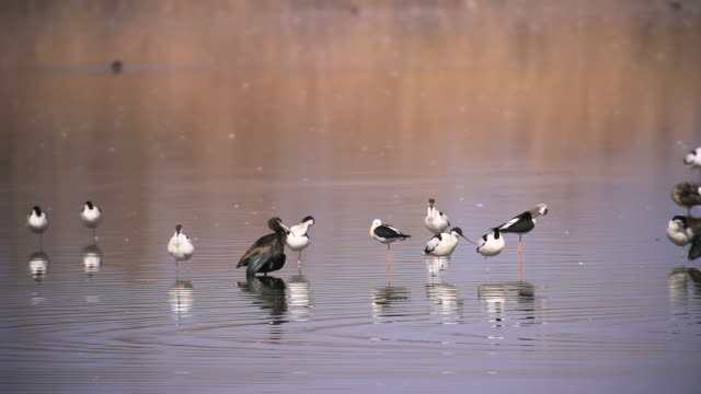 ws view of mixed flock of black winged stilts, avocets and ibis / hula valley, galilee, israel - flock of birds stock videos & royalty-free footage