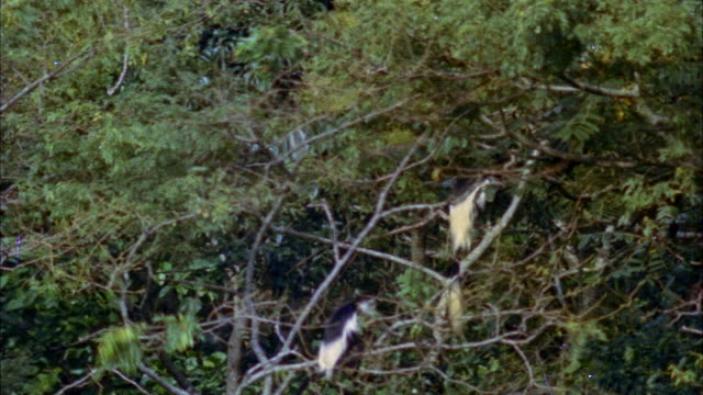 ma pan view of  monkey in tree leaping to other branch - other stock videos & royalty-free footage