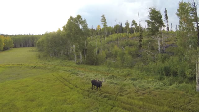 WS AERIAL TD TS View of Moose running of aspen trees / Winter Park, Colorado, United States