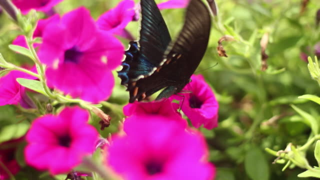 View of Morning Glory with butterfly