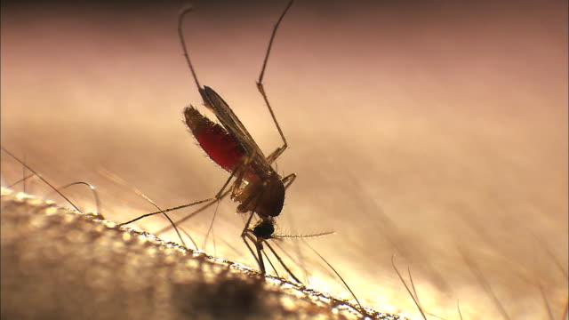 view of mosquito sucking blood - sucking stock videos & royalty-free footage
