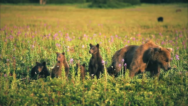 View of mother and baby brown bears at flower garden of Yellowstone National Park