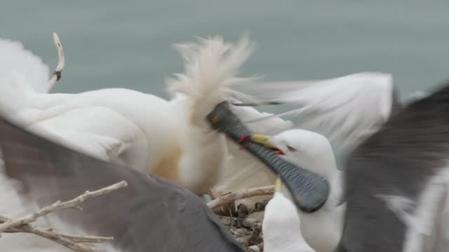 View of mother Blackfaced spoonbill (Platalea minor) fighting against Black-tailed Gull in Ongjin-gun (Natural habitat for endangered birds), Incheon