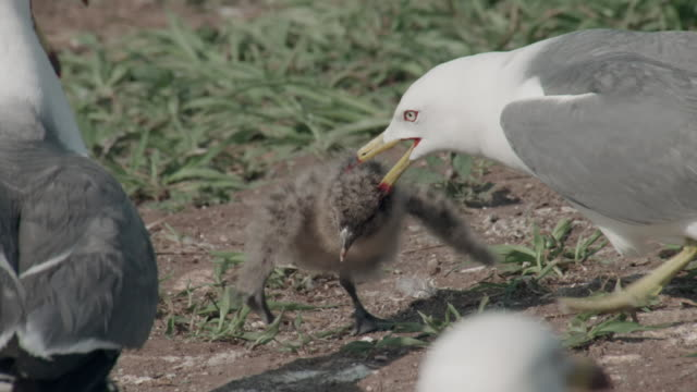 view of mother black-tailed gull's fightback in ongjin-gun (natural habitat for endangered birds), incheon - wounded stock videos & royalty-free footage