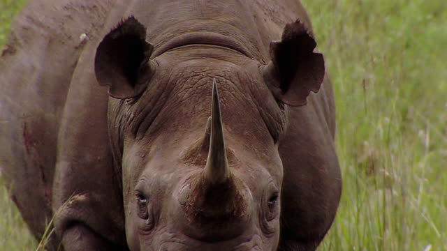 ms zo pan view of mother rhino / save valley, southern zimbabwe, zimbabwe - rhinoceros stock videos and b-roll footage