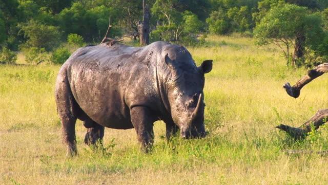 WS TS View of Muddy rhino walking through grass  / Kruger National Park, Mpumalanga, South Africa