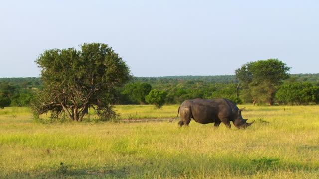 ws view of muddy rhino walking through grass  / kruger national park, mpumalanga, south africa - krüger nationalpark stock-videos und b-roll-filmmaterial