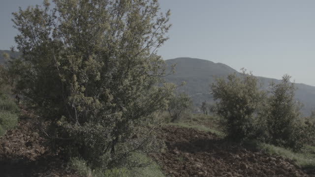 view of mulberry trees planted in a field in the chouf mountains. - organic stock videos & royalty-free footage