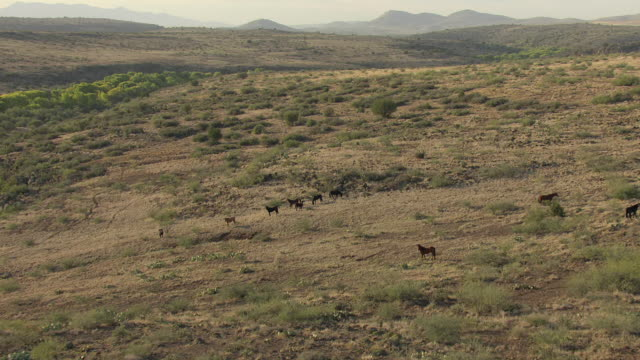 ws aerial zi ds view of mustangs grazing in yavapai county / arizona, united states - gruppo medio di animali video stock e b–roll