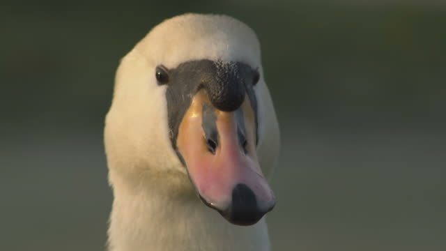 CU View of mute swan head at dawn / Shalford, Surrey, UK