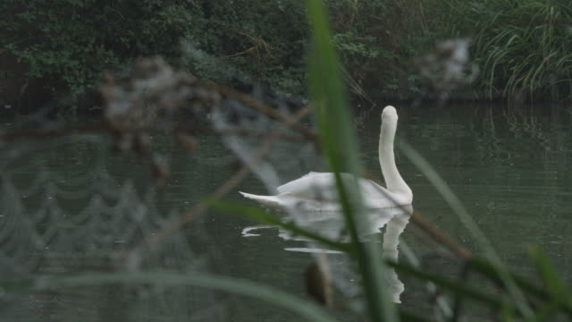 ms ds view of mute swan on river bank / godalming, surrey, uk - rosso stock videos & royalty-free footage