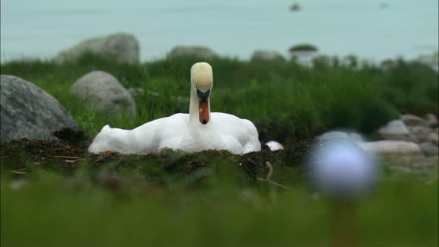 ws view of mute swan / visby, nã¤r, ljugarn, gotland, sweden - golf ball stock videos & royalty-free footage