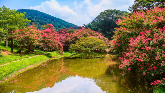ws t/l view of myeongokheon garden with crape myrtle / damnyang, jeollanam do, south korea - crepe myrtle tree stock videos and b-roll footage