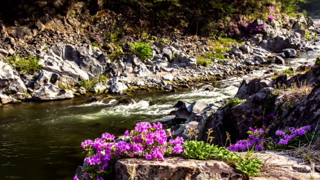 View of Naerincheon stream (popular travel destination) and Rhododendron yedoense blossoms