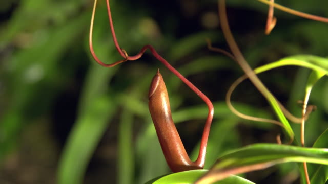 vídeos de stock, filmes e b-roll de view of nepenthes ventrata plant raising its pitcher to catch prey in mulu, island of borneo - carnivorous plant
