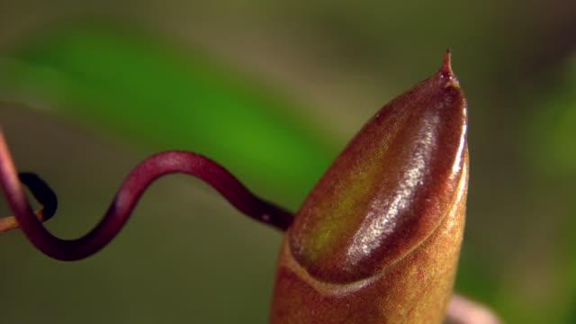 vídeos y material grabado en eventos de stock de view of nepenthes ventrata plant raising its pitcher to catch prey in mulu, island of borneo - carnivorous plant