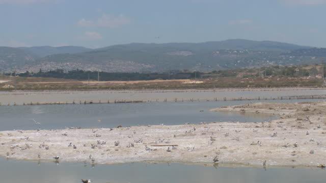 WS PAN View of nesting colony of common terns (Sterna hirundo) / Atlit, Carmel Coast, Israel