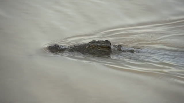 MS TS View of Nile Crocodile stealthily swimming along water surface / Pilanesberg National Park, North West Province, South Africa