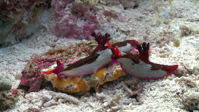 CU View of Nudibranchs interacting / Visayan Islands, The Visayans, Philippines