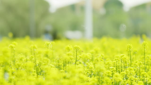 View of Oilseed Rape Flower field in Seoraeseom Island