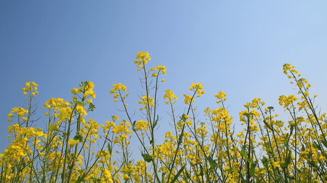 stockvideo's en b-roll-footage met view of oilseed rape in yeongsanpo(old harbor) - laag camerastandpunt