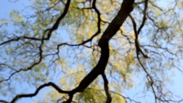 vídeos y material grabado en eventos de stock de ws pan view of old tree / los angeles, california, usa - foco difuso