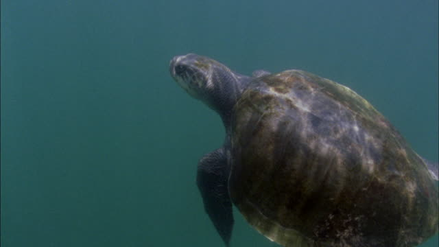 cu view of olive ridley turtle / nosara, guanacaste, costa rica - nosara stock videos and b-roll footage