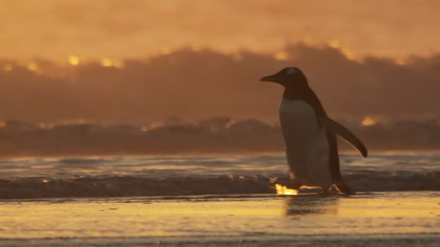 ws ts view of one gentoo penguin pygoscelis papua at sunset on beach / volunteer point, falkland islands - gentoo penguin stock videos and b-roll footage