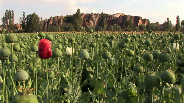 view of opium on the poppy flower field in bristol, england - england stock-videos und b-roll-filmmaterial