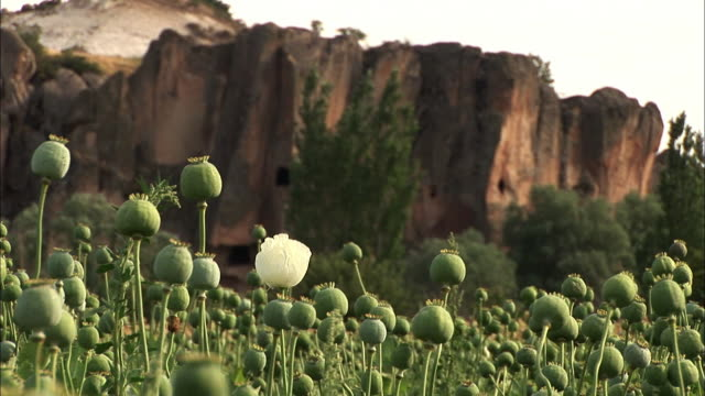 view of opium on the poppy flower field in bristol, england - bristol england stock videos & royalty-free footage