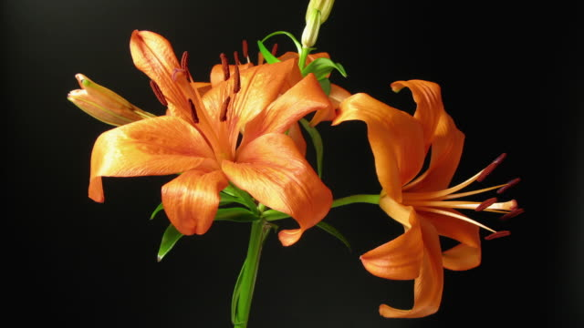 cu t/l view of orange lily dying / new york city, new york, usa - death stock videos & royalty-free footage