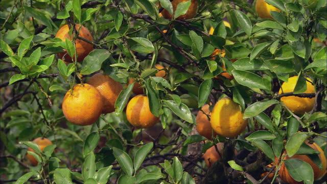 cu view of orange tree in orange grove under day sky / florida, usa - オレンジ果樹園点の映像素材/bロール