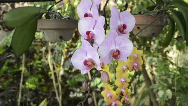 CU View of Orchid im pot / Nyaungshwe, Inle Lake, Shan State, Myanmar