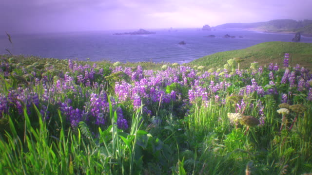 ws pov view of oregon coast wildflowers and ocean / cape blanco, oregon, usa - oregon coast stock videos & royalty-free footage