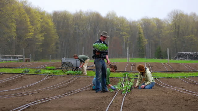 ws slo mo view of organic farmers plant rows of vegetables by hand / chatham, michigan, united states - effort video stock e b–roll