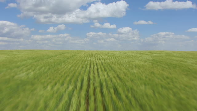 vidéos et rushes de cu aerial la tu view of over crop rows to reveal horizon / north dakota, united states - grandes plaines américaines